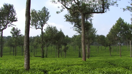 MS, Pan, Tea plantation, India, Kerala