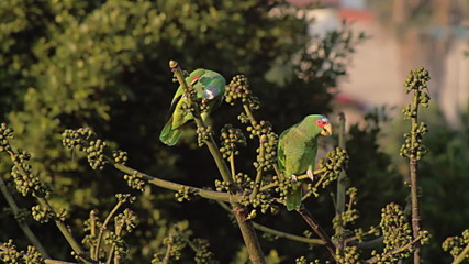 White Fronted Parrots Eating Figs