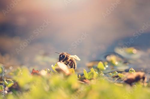 Zdjęcia na płótnie, fototapety, obrazy : Closeup photo of honey bee a sunny day