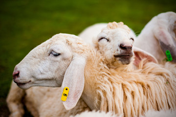 Two closed-up sheep with a happy face in a farm.