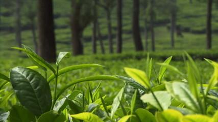 CU, Tea plantation, India, Kerala, Munnar