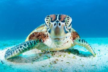 tortue turtle