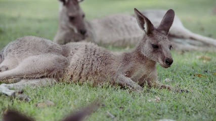 A group of Australian kangaroos outdoors on the grass.