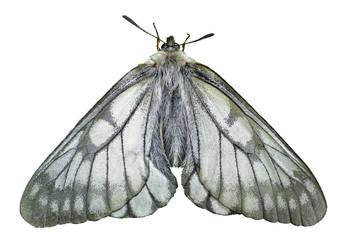 White butterfly (Papilio stubendorfi) 9