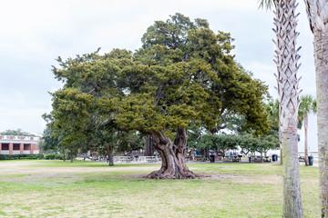Massive Old Live Oak Tree