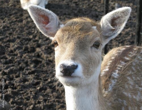 Fotobehang Ree A portrait of a roe deer in a paddock