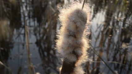 Wind dispersal of cattail seeds