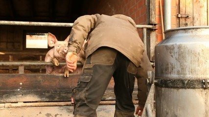 feeding hungry pigs