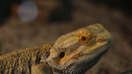 Bearded Dragon Reptile