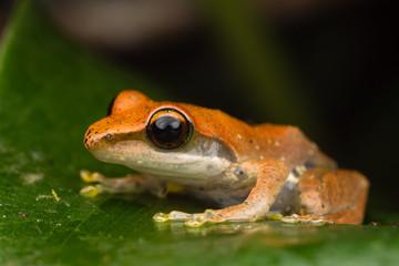 Orange Tree-frog on wet leaf