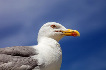 portrait Great black-backed gull, Larus marinus, Portugal