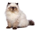 Fototapety Cute 3 month old persian seal colourpoint kitten is sitting
