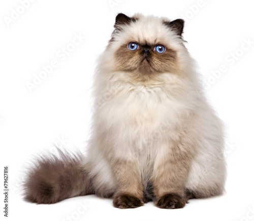 Foto op Plexiglas Kat Cute persian seal colourpoint kitten is sitting frontal