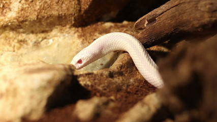 Curious White Snake