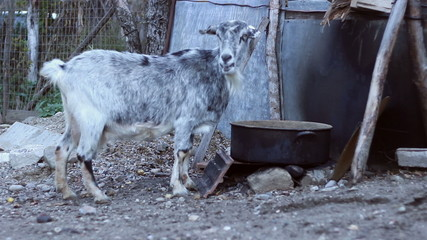 Domestic She-Goat Eating
