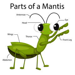 Illustrator parts of a mantis