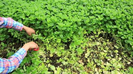 farmer hands picking mints plants at field