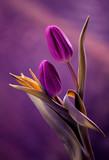 Tulipany - 79631808