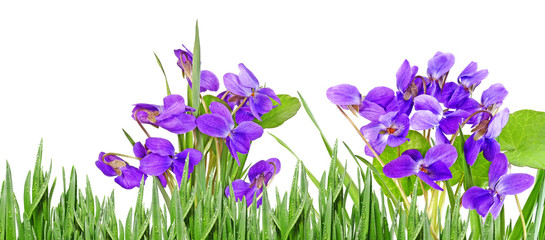 violets in a grass