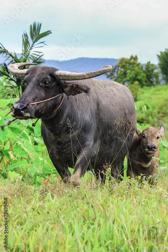 Tuinposter Buffel Water buffalo standing on green grass