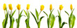 line of yellow tulips - 79635022