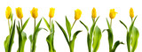 Fototapety line of yellow tulips