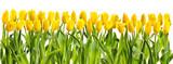 line of yellow tulips - 79635066