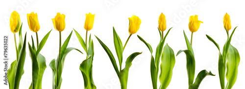line of yellow tulips - 79635022
