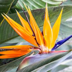 Tropical flower strelitzia, Madeira island, Funchal, Portugal