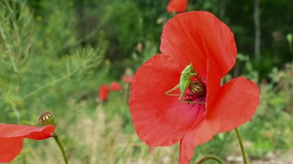 Grasshopper on Poppy Flower