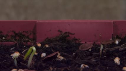 Common Milkweed (Asclepias syriaca) Time Lapse