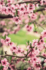 Blooming tree branch in spring with blurred background