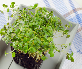 Fresh Cress salad in a  wooden box.