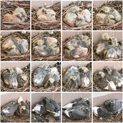 stages  growth of chicks pigeons