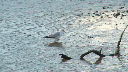 Seagull wading around low tide