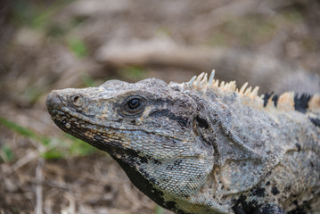 Wild Lizzard at Tulum, traveling Quintana Roo, Mexico.