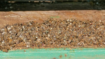 Dead bees at the bottom of the beehive board.