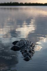 Crocodile in Caribbean Lagoon