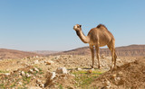 camel in the Negev desert