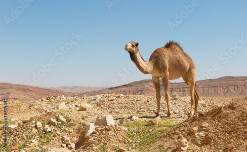 Foto op Canvas Kameel camel in the Negev desert