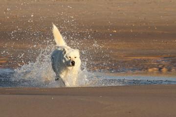 Weisser Hund - Erfrischung am Strand