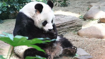 Panda eating bamboo in a zoo