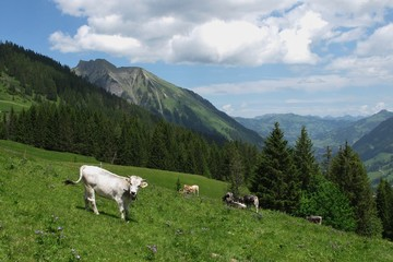 Young cows on a mountain meadow near Gstaad