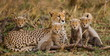 The female cheetah with her cubs - 79653055