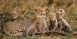 Leinwanddruck Bild - The female cheetah with her cubs