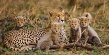 """Постер, картина, фотообои """"The female cheetah with her cubs"""""""