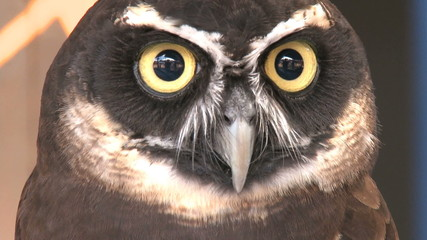 A spectacled owl looks into the camera