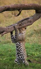 Leopard. Tanzania. Unusual pose.