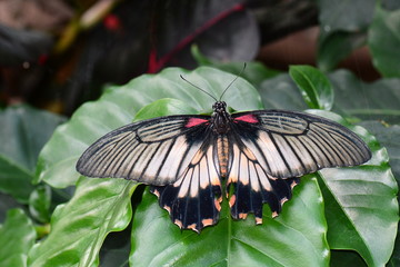 Great Mormon butterfly lands in the gardens