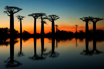 Baobabs at sunrise